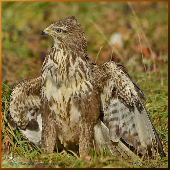 Napolean buzzard! By Noushka