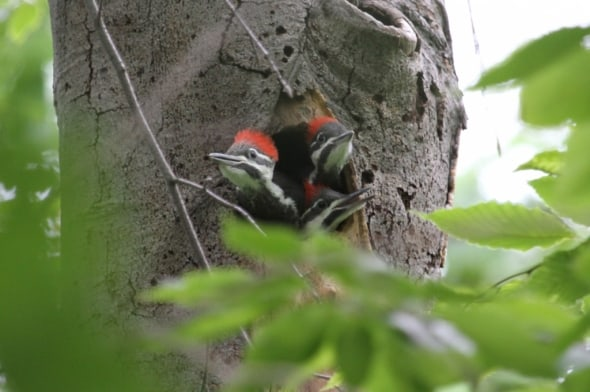 Baby Pileated Woodpeckers