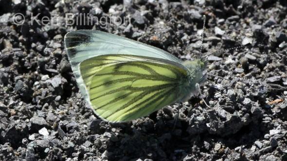Green-veined-White-(2).JPG