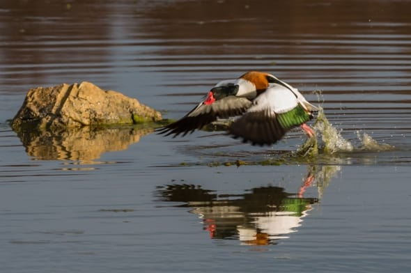Shelduck take-off