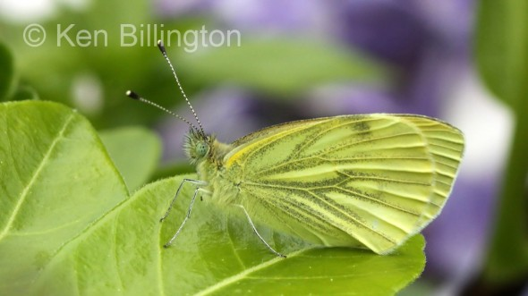 Green-veined-White-