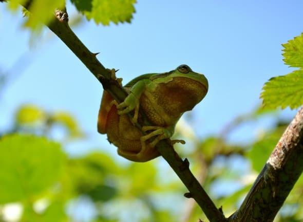 Common Tree Frog - Hyla arborea