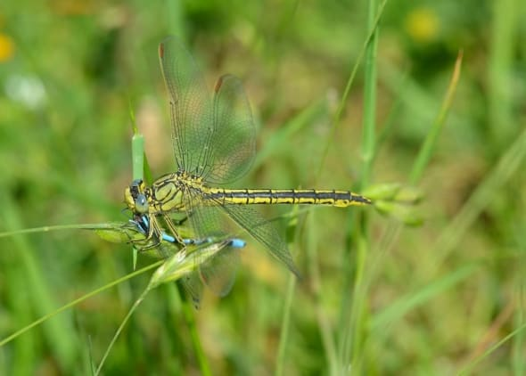 Western Clubtail eating Common Bluet