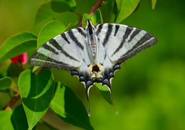 Scarce Swallowtail (I. podalirius)