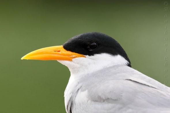 Portrait of River Tern Bird