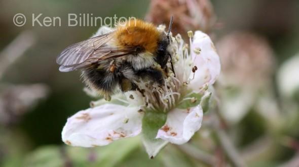 Honey-Bee-(1).JPG
