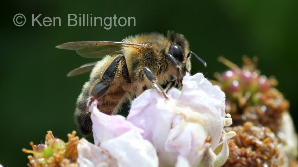 Honey-Bee-(2).JPG