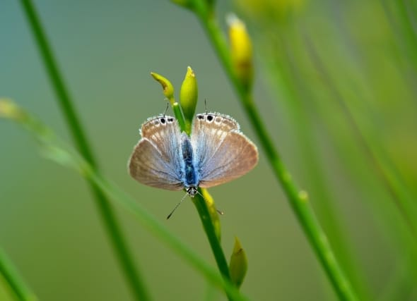 Long-tailed Blue (L.boeticus)