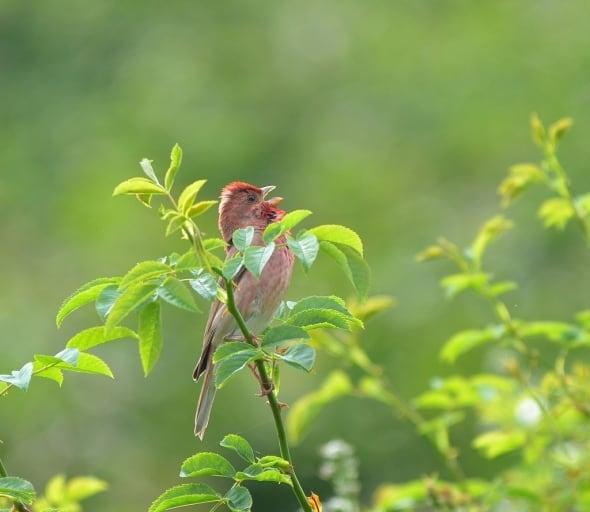 Common Rosefinch - C. erythrinus