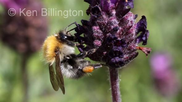 Honey-Bee-(3).JPG