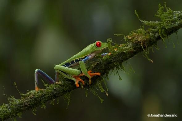 Red eyed-leaf-frog