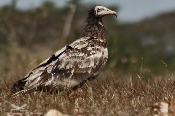 Egyptian Vulture Juvenile
