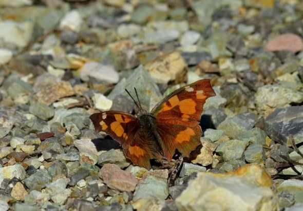 Nettle-tree Butterfly - L.celtis