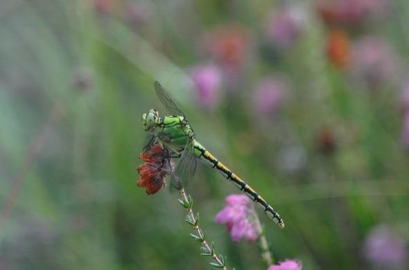 Green Snaketail - Ophiogomphus cecilia