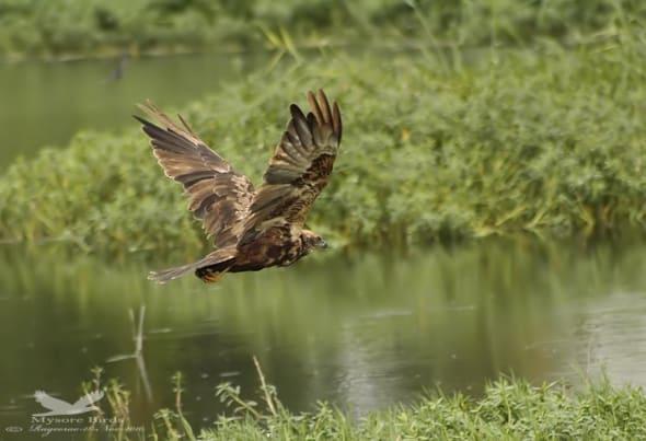 Eurasian Marsh Harrier