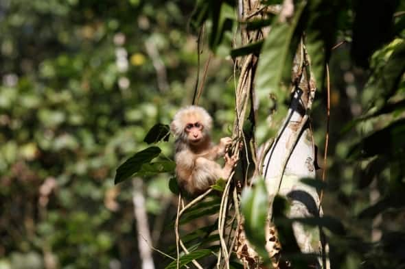 Young Stump-tailed Macaque