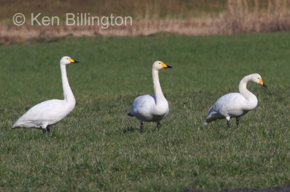 Whooper Swans in the Winter Sunshine
