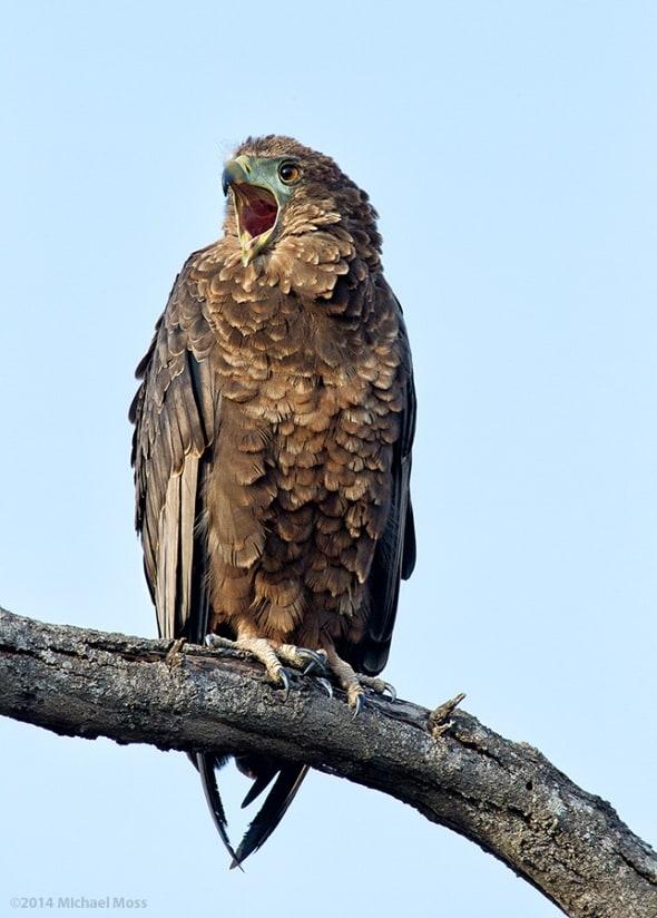 Juvenile Bateleur Eagle