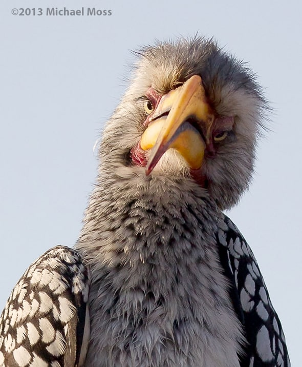 Yo ! - Yellow Billed Hornbill