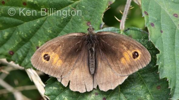 Meadow-Brown-