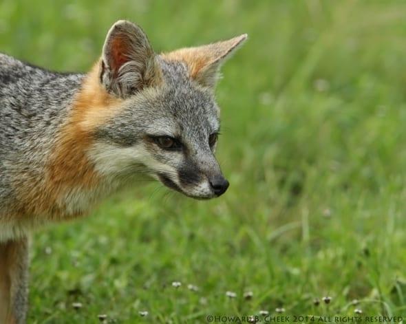 Summer Gray Fox