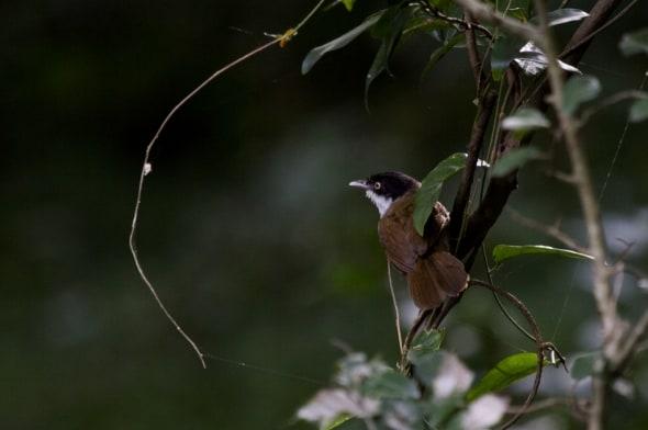 Dark Fronted Babbler