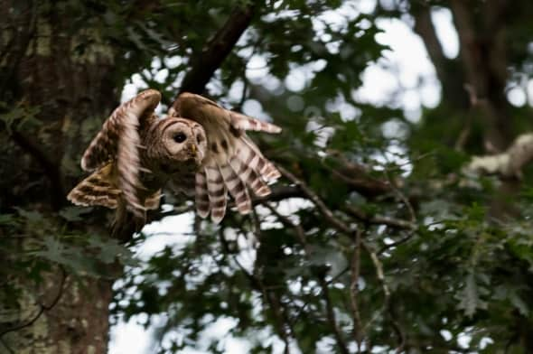 Barred Owl Take Off