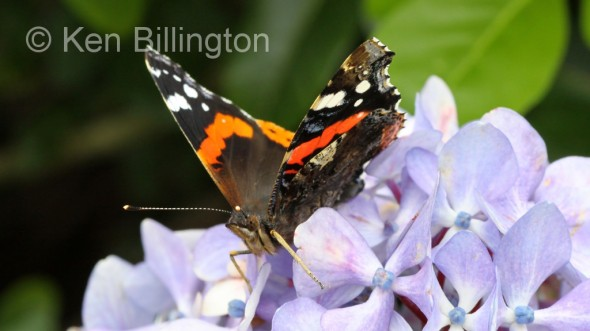 Red-Admiral-