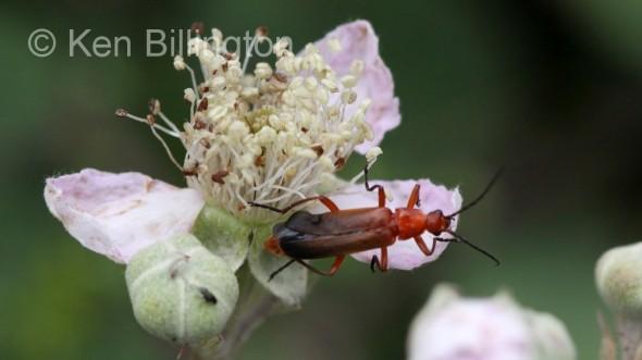 Red-Soldier-Beetle-(1).JPG