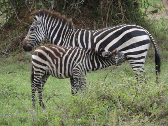 Burchell's Zebra suckling