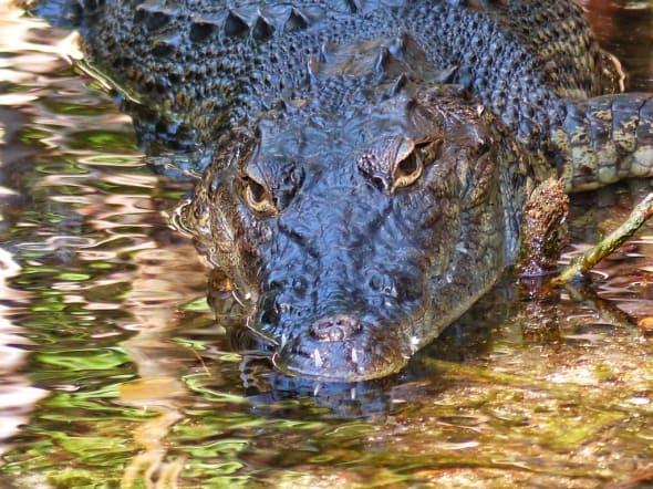 Eye-To-Eye with a Yucatan Croc