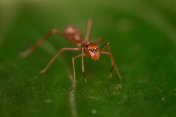 Ant Mimic Jumper