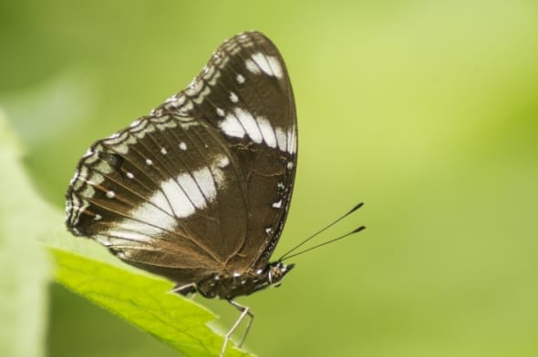 Great Eggfly - Butterfly