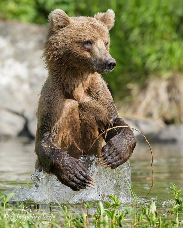 Young Coastal Brown Bear