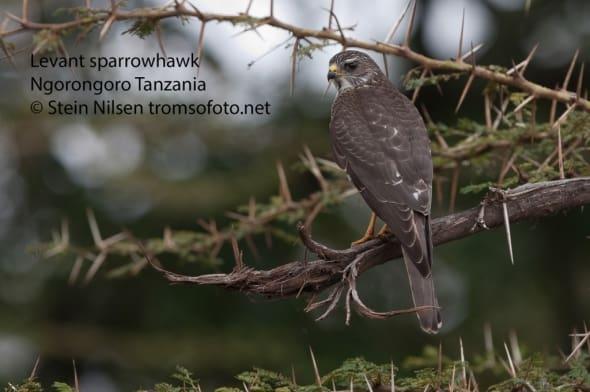 Levant Sparrowhawk, Tanzania