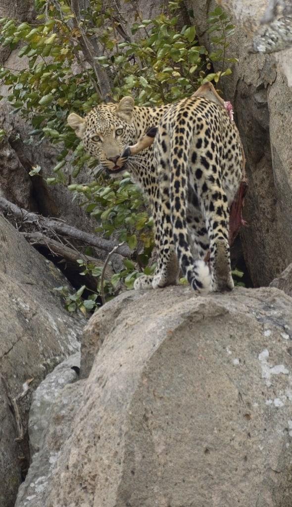 Leopard enjoy Impala
