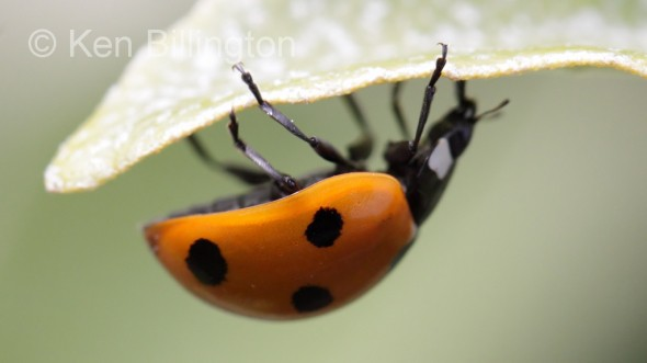Seven-spot Ladybird (Coccinella septempunctata) (3).jpg