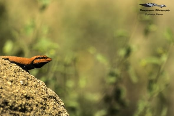 Peninsular Rock Agama