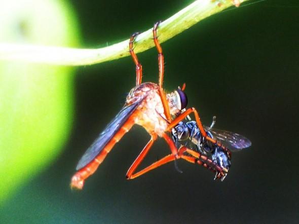 Asilidae Acrobatics