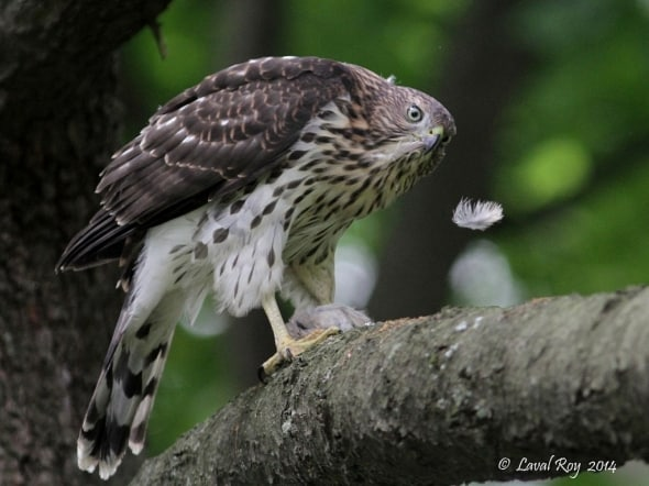 Life is so fragile - Cooper's Hawk