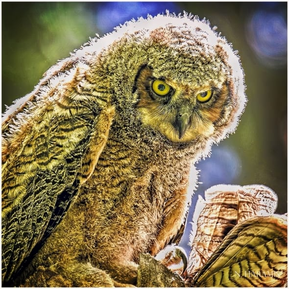 Scowling Young Owl