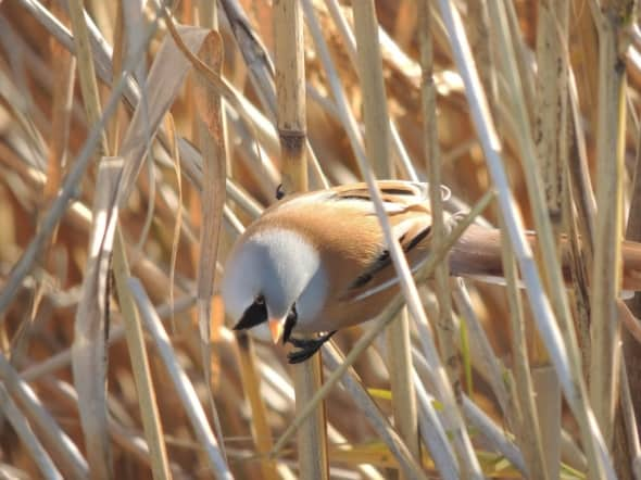 Bearded Reedling Male