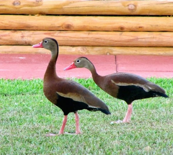 Mexican Whistlers