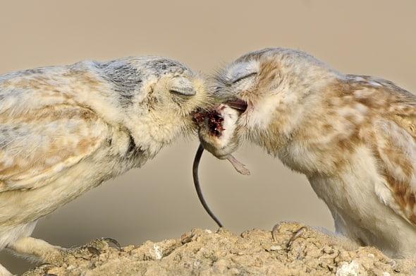 Lilith Owl feeding the Chick