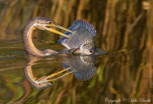 African Darter - spear fishing