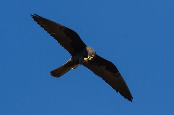 Eleonora's Falcon feeding on flight