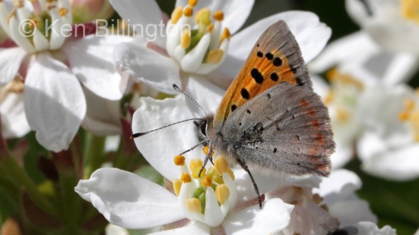 Small Copper (Lycaena phlaeas) (8).jpg