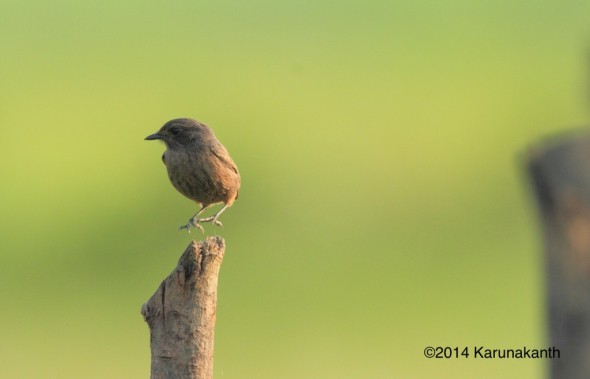 Pied Bushchat Female