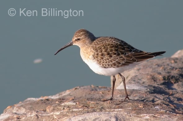 Curlew Sandpiper in the early morning sun