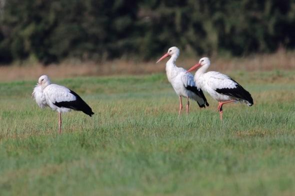 White Stork Family Group